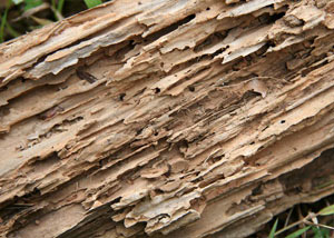 Termite-damaged wood showing rotting galleries outside of a Fort Thomas home